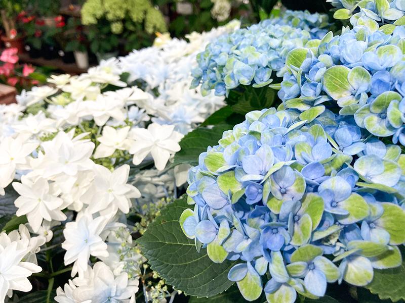 おかれた所で彩りほこるアジサイの花